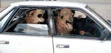 Camels in car.jpg